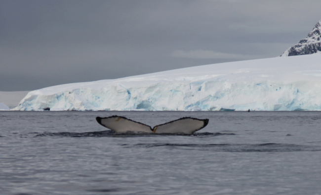 in Wilhelmina Bay whale tail goodby