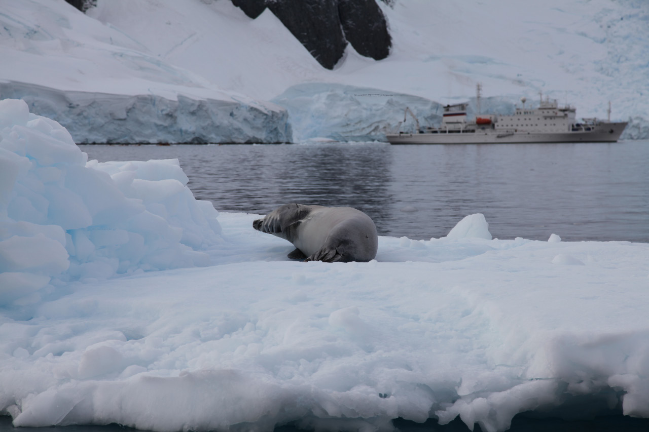 Crabeater seal – Lobodon carcinophaga or carcinophagus – looking human on the free-floating pack ice, shadowed by the Академик Сергей Вавилов – Akademik Sergey Vavilov